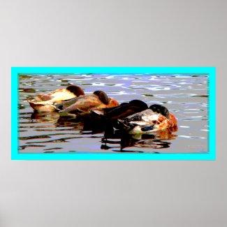 Ducks 1 Poster print