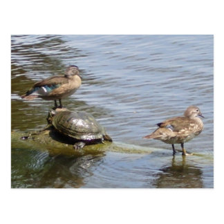Ducks and Turtle in The Woodlands, TX Postcard