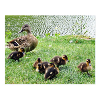 Ducks Animals Postcard