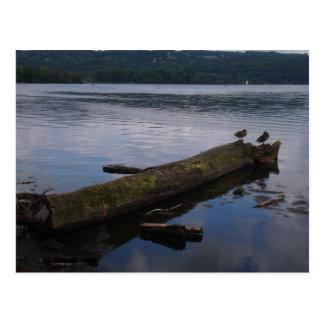 Ducks at Stewart Park Postcard