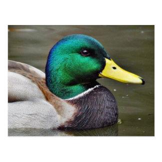 Ducks Bills Postcard