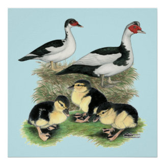 Ducks Black Pied Muscovy Family Poster