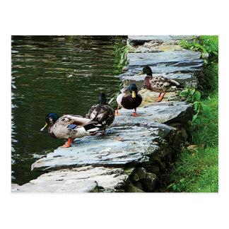 Ducks by the Pond Postcard