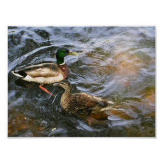 Ducks in the Boston Public Garden Poster