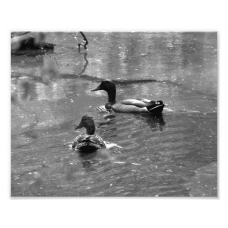 Ducks in the Rain Photo Print BW