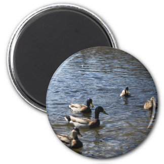 ducks in water, green timber park magnet