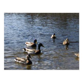 ducks in water, green timber park postcard