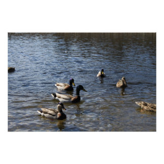 ducks in water, green timber park poster