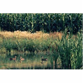 Ducks in Wetland Photo Cutout