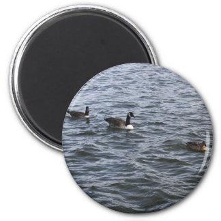 Ducks Magnet