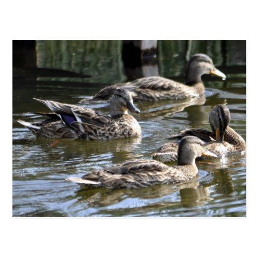 Ducks Photo Postcard