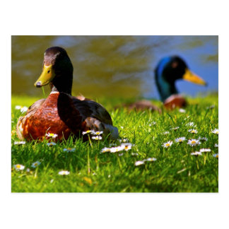 Ducks Postcard