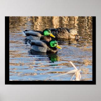 Ducks Taking a Swim Poster