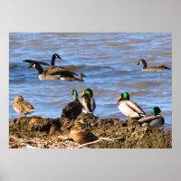 Ducks Watching Geese Posters