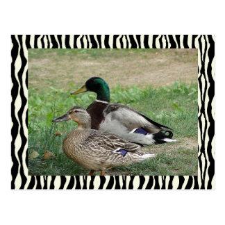 Ducks Zebra bg Postcard