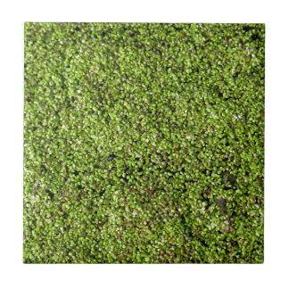 duckweed-377535  duckweed water lens aquatic plant ceramic tile