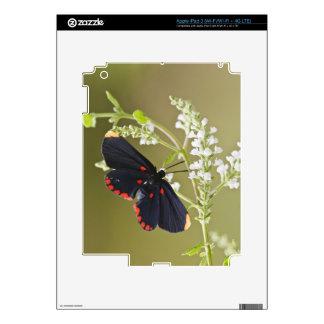 duendecillo Rojo-confinado en el cepillo blanco iPad 3 Pegatina Skin