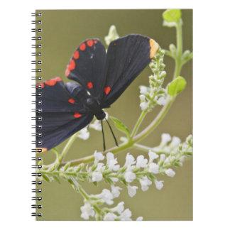 duendecillo Rojo-confinado en el cepillo blanco Notebook