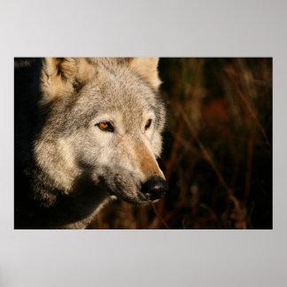 Duma el lobo posters