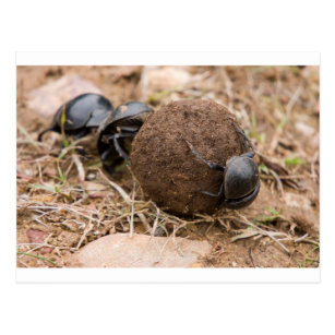 Dung Beetle Postcard
