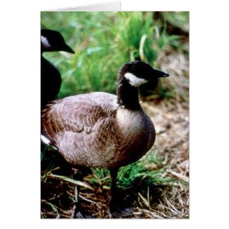 Dusky Canada Goose Cards