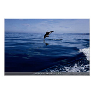 Dusky dolphins, side view, nose dive poster
