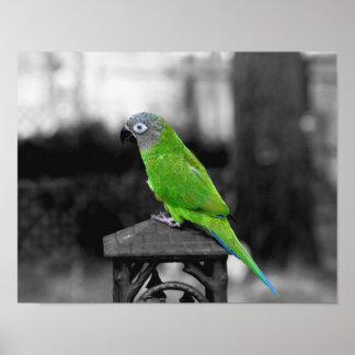 Dusky Headed Conure Parrot Black White Poster