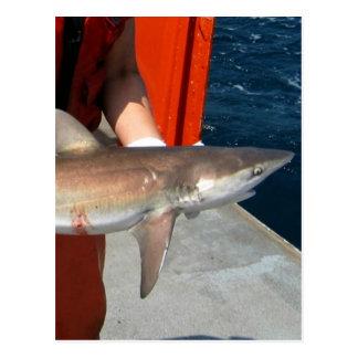 Dusky shark postcard
