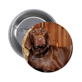 Dutchess - Chocolate Labrador - Photo-13 Pinback Buttons