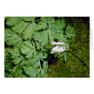 Dutchman's Breeches (Dicentra Cucllaria) fl Card