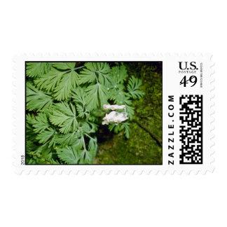 Dutchman's Breeches (Dicentra Cucllaria) fl Postage