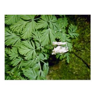 Dutchman's Breeches (Dicentra Cucllaria) fl Postcards