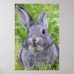Dwarf bunny rabbit poster