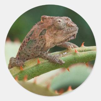 Dwarf Chameleon (Brookesia Exarmata), Algoa Bay Classic Round Sticker
