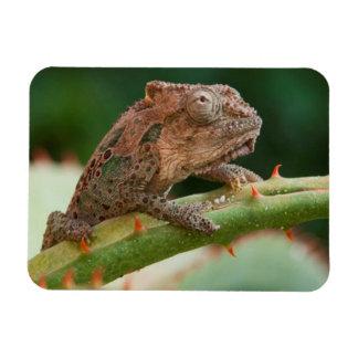 Dwarf Chameleon (Brookesia Exarmata), Algoa Bay Rectangular Photo Magnet