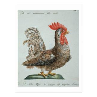 Dwarf Cockerel, c.1767-76 (hand coloured engraving Postcard
