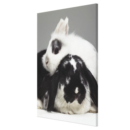 Dwarf-eared rabbit leaning over lop-eared stretched canvas print