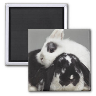 Dwarf-eared rabbit leaning over lop-eared magnet