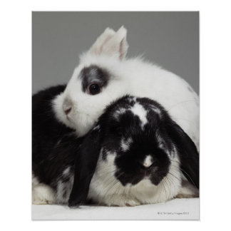 Dwarf-eared rabbit leaning over lop-eared poster