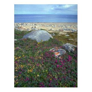 Dwarf fireweed, Hudson Bay, NWT, Canada Postcard