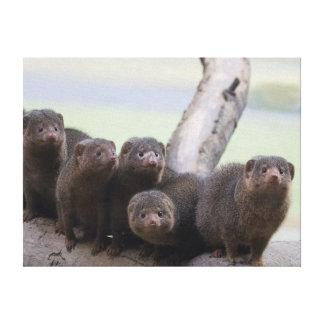 Dwarf Mongoose Pack Canvas Print