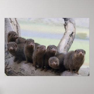 Dwarf Mongoose Pack Poster