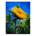 Dwarf Teddy Bear Sunflower Postcard