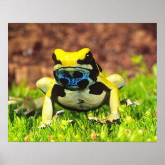 Dyeing Poison Frog, Dendrobates tinctorius, Poster