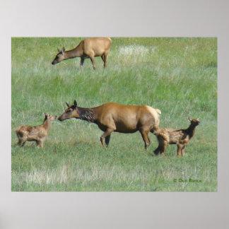 E0003 Cow Elk and Calves Poster