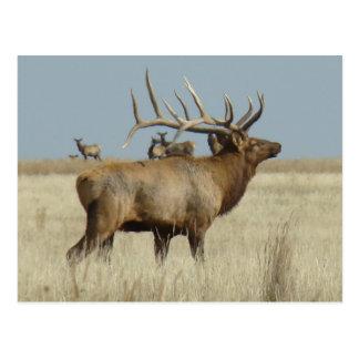 E0004 Bull Elk Postcard