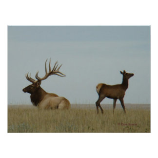 E0005 Bull Elk and Yearling Poster