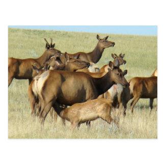 E0007 Cow Elk and Calf Postcards