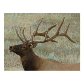 E0009 Bull Elk in Velvet Postcards