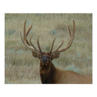 E0010 Bull Elk in Velvet 2 head shot Poster